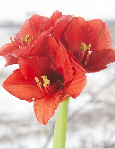 Red Base Waxed Amaryllis - 92165