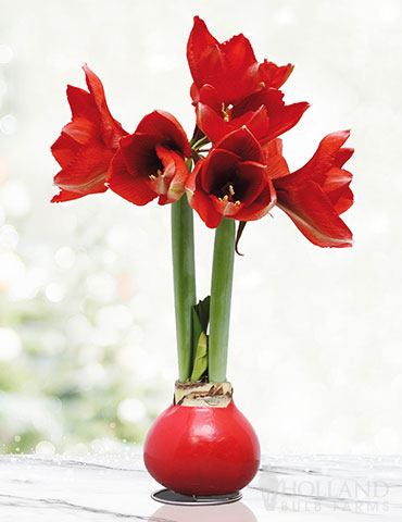 Happiness Waxed Amaryllis