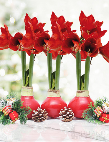 Red Waxed Amaryllis Collection (3-Pack) Red Waxed Amaryllis Collection, Flower Bulb 3-Pack, Holiday Gifts, Unique Wax-Covered Flower Bulb