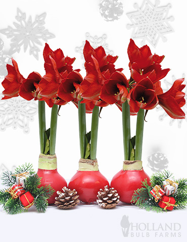 Wax Amaryllis Red Collection (3-Pack)