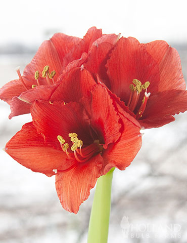 Silver Base Waxed Amaryllis - 92166