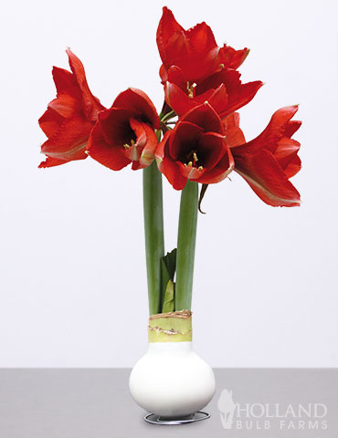Wax Amaryllis White Base