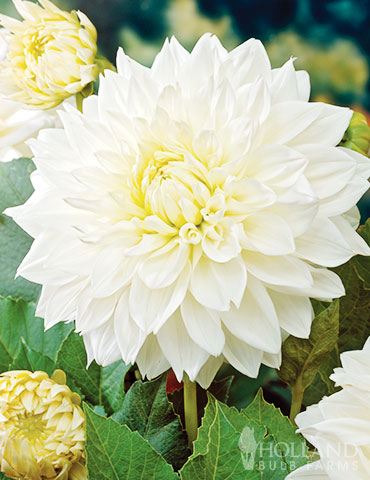 White Decorative Dahlia