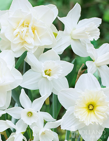White Diamonds Daffodil Mix - 89243