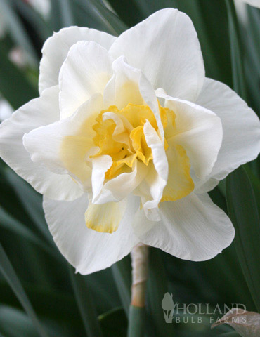 White Lion Double Daffodil