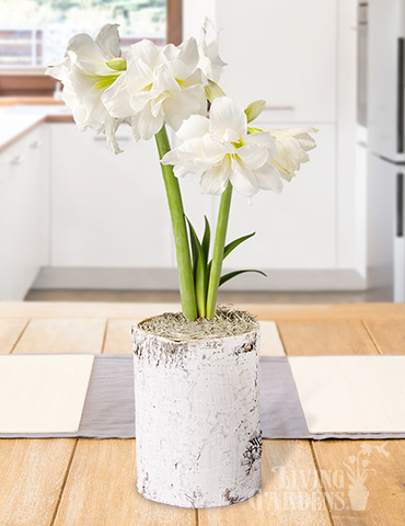 White Magic Potted Bulb Garden
