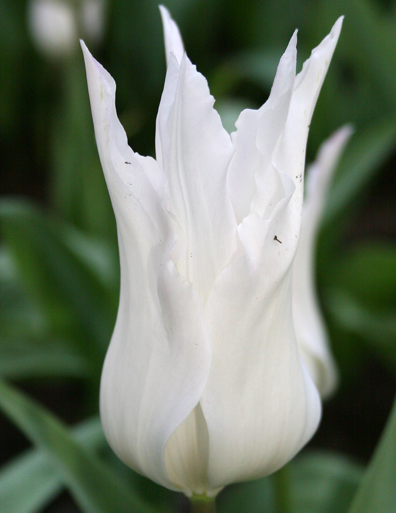 White Triumphator Lily Flowering Tulip