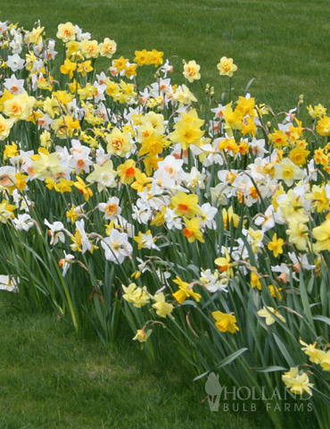 Wholesale Mixed Daffodils - 500+ Bulbs - 82001