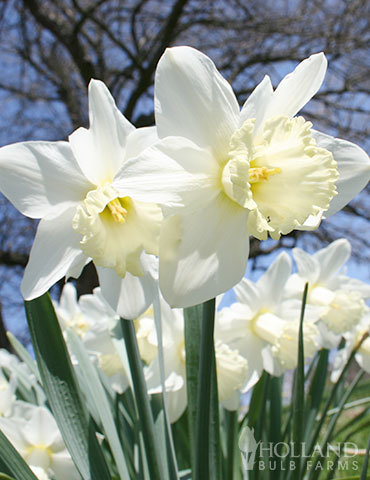 Wholesale White Daffodils 500+ (Ice Follies)