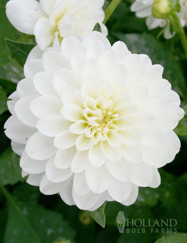 Wittem Decorative Dahlia