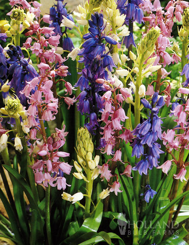 Wood Hyacinths Mix (Spanish Bells)