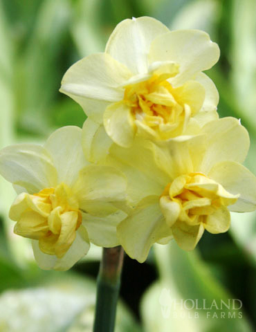 Yellow Cheerfulness Daffodil Jumbo Pack