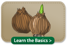 learn the basics about flower bulbs different types of bulbs lifecycle