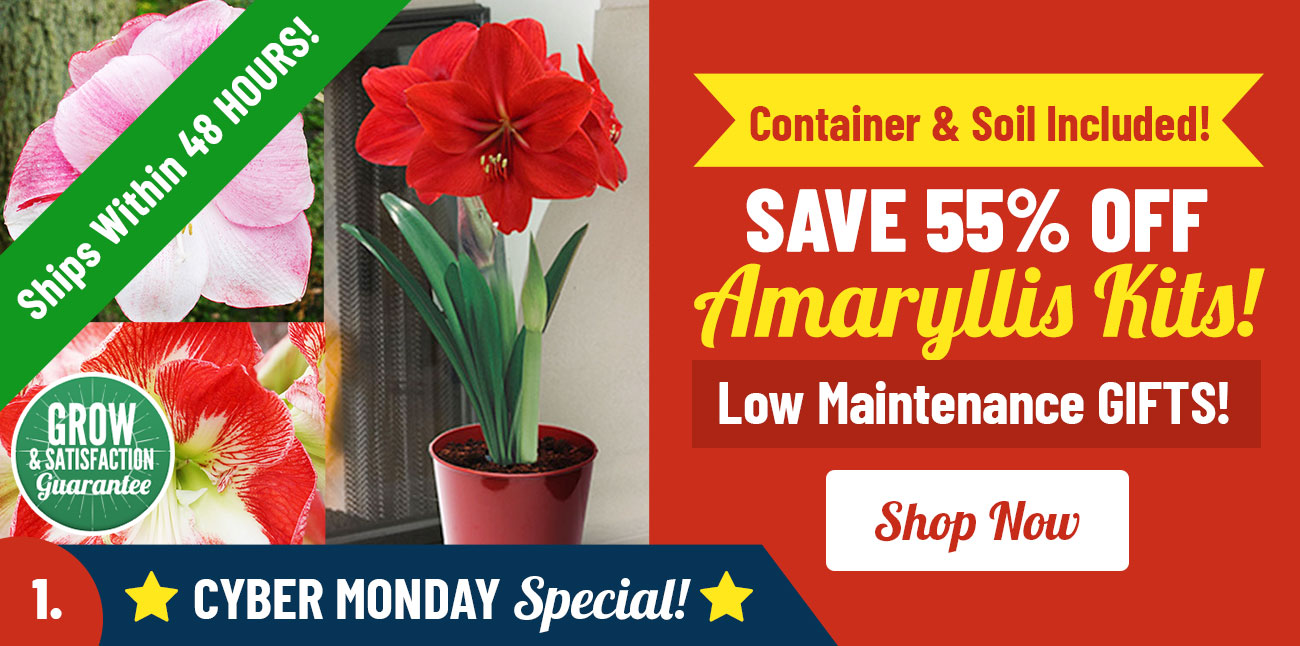 Shop 55% OFF Amaryllis Kits!