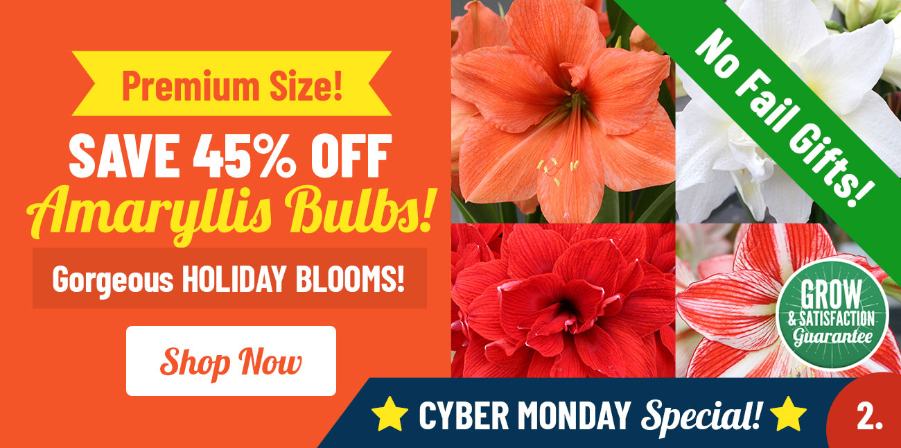 Shop 45% OFF Amaryllis Bulbs!