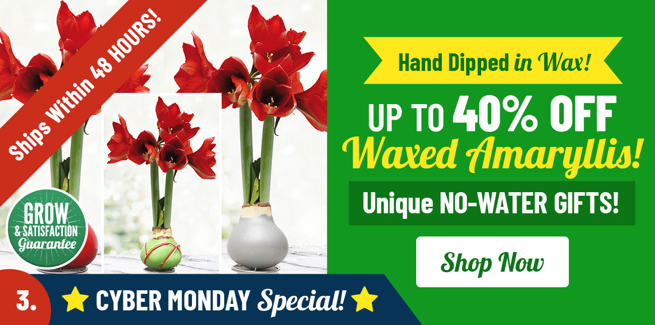 Shop Up To 40% OFF Waxed Amaryllis!