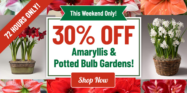 30% OFF Amaryllis, Indoor Bulbs and More!