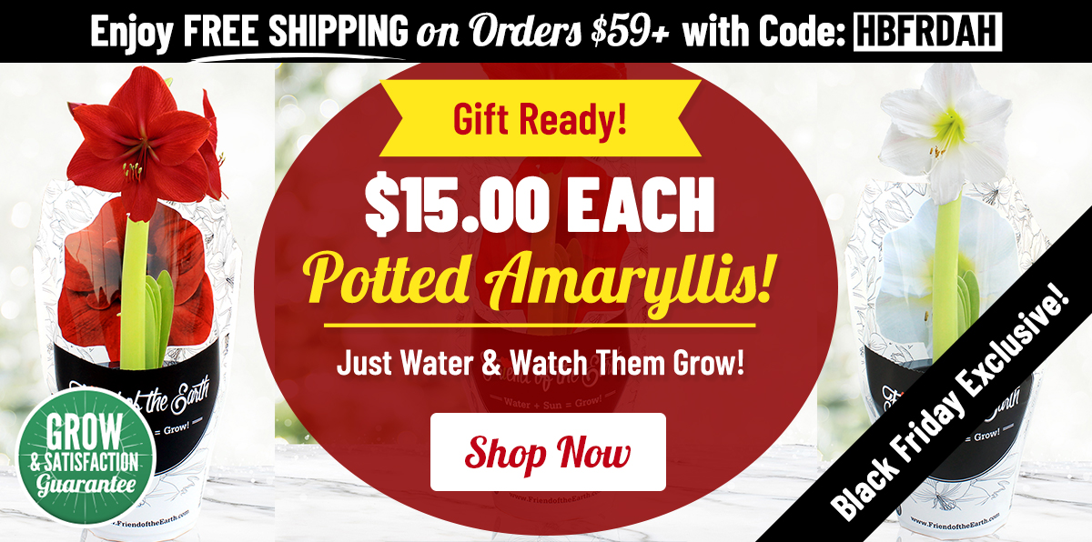 BLACK FRIDAY: $15 Pre-Potted Amaryllis!