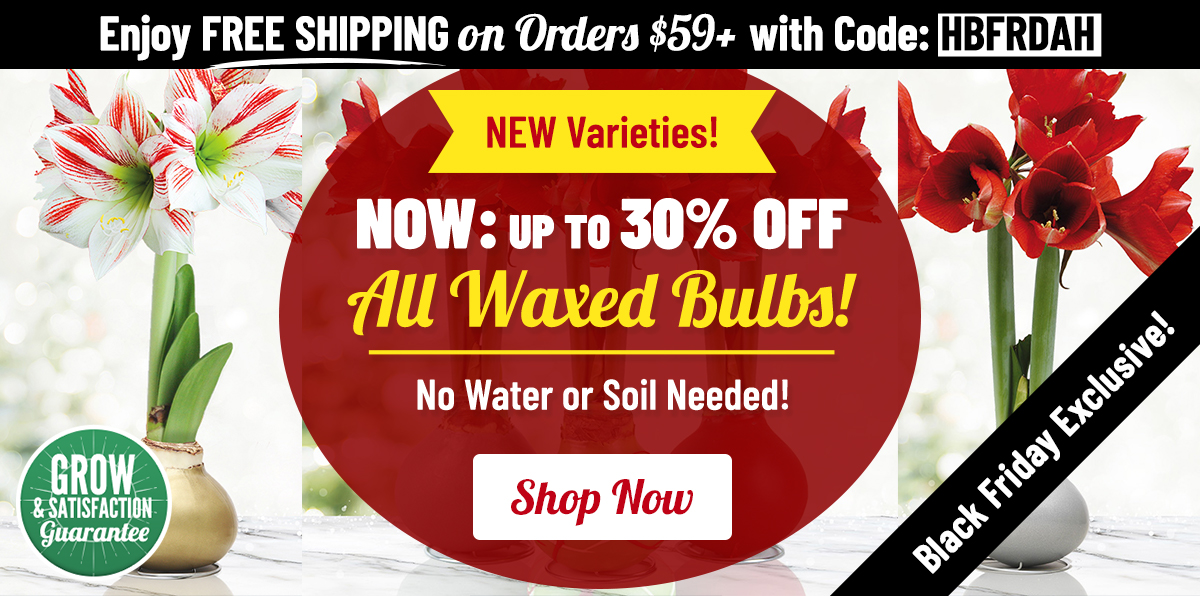 BLACK FRIDAY: 30% OFF Select Waxed Amaryllis!