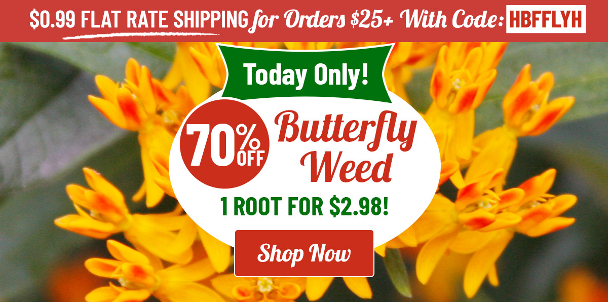 TODAY ONLY: 70% OFF Butterfly Weed!
