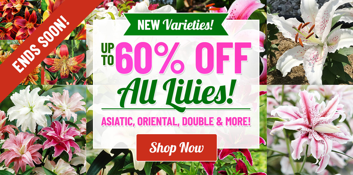 LIMITED TIME: Up To 60% OFF ALL Lilies!