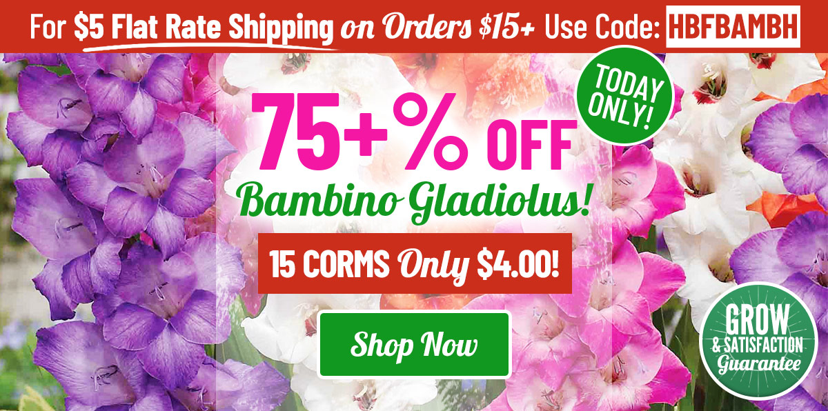 TODAY ONLY: 76% OFF Our Bambino Gladiolus!