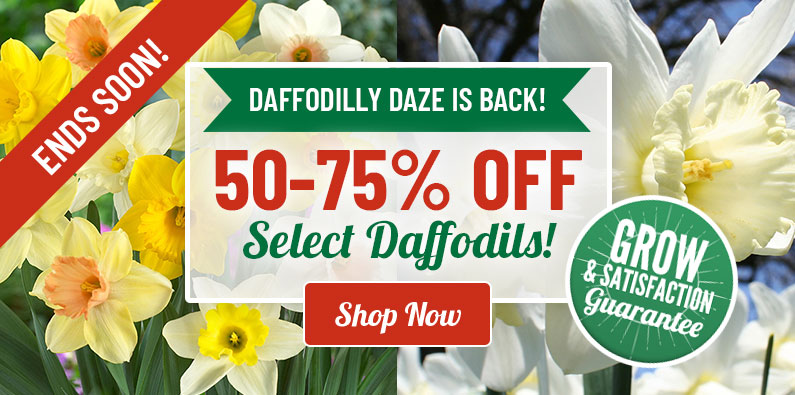 Daffodilly Daze: Save 50-70% OFF Select Daffodils!