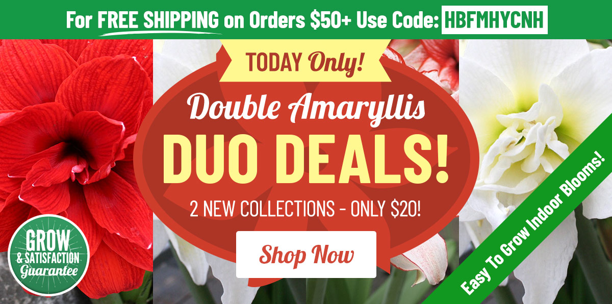 NEW Amaryllis Duo Deals Over Half OFF!